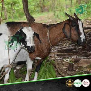 African goats meatonclick