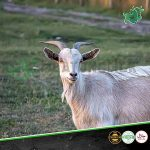 Ethiopian goat meatonclick