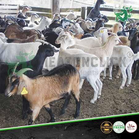 all-goats