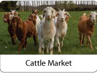 cattle market at meatonclick