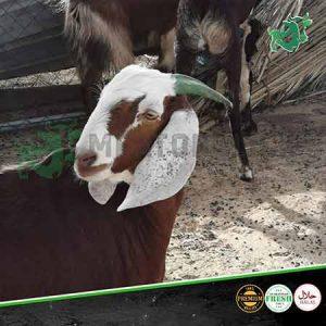 pakistani goat livestock