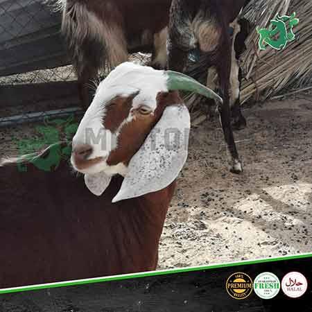 pakistani-goat-1-meatonclick
